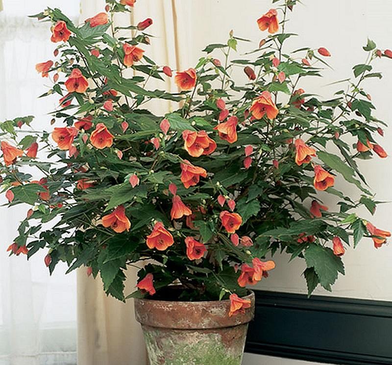 Абутилон гибридный в горшке, фото - plantsrescue.com
