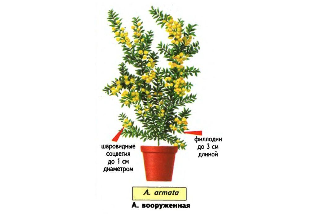 Acacia armata наиболее популярна среди любителей комнатных растений из-за оттенка филлодий – глубокого и богатого темно-зеленого.
