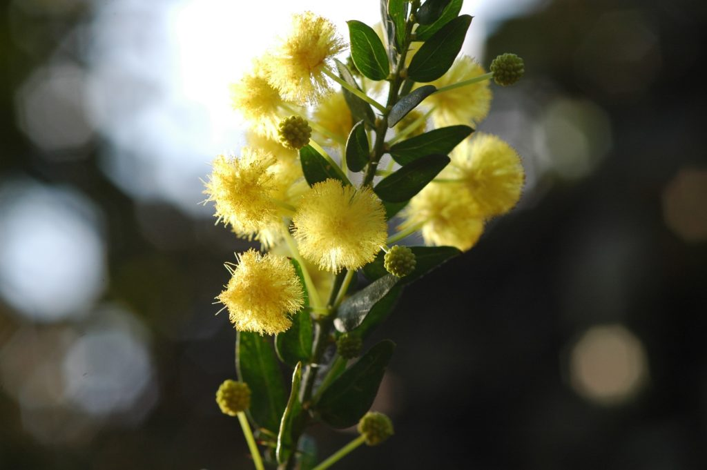 Acacia armata, источник commons.wikimedia.org