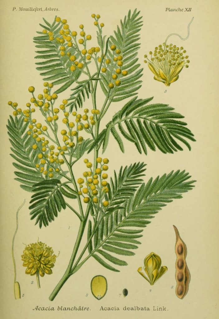 Acacia dealbata, источник pinterest.com