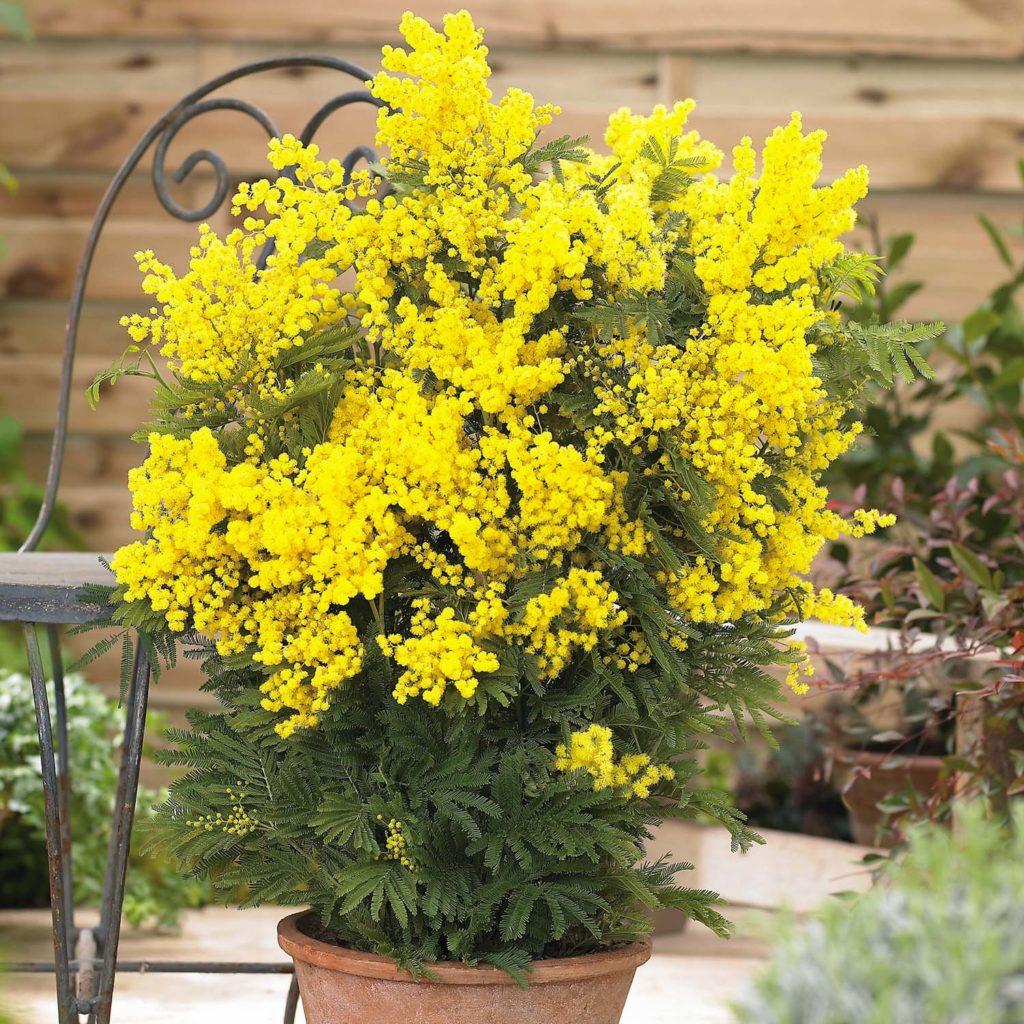 Acacia dealbata, источник vanmeuwen.com