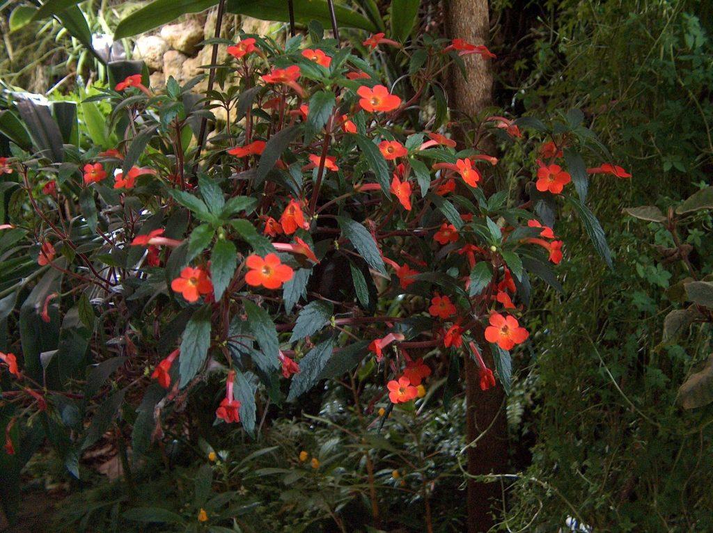 Achimenes erecta, или прямостоячий, на самом деле ампельное растение, что часто вводит в заблуждение неопытных цветоводов.