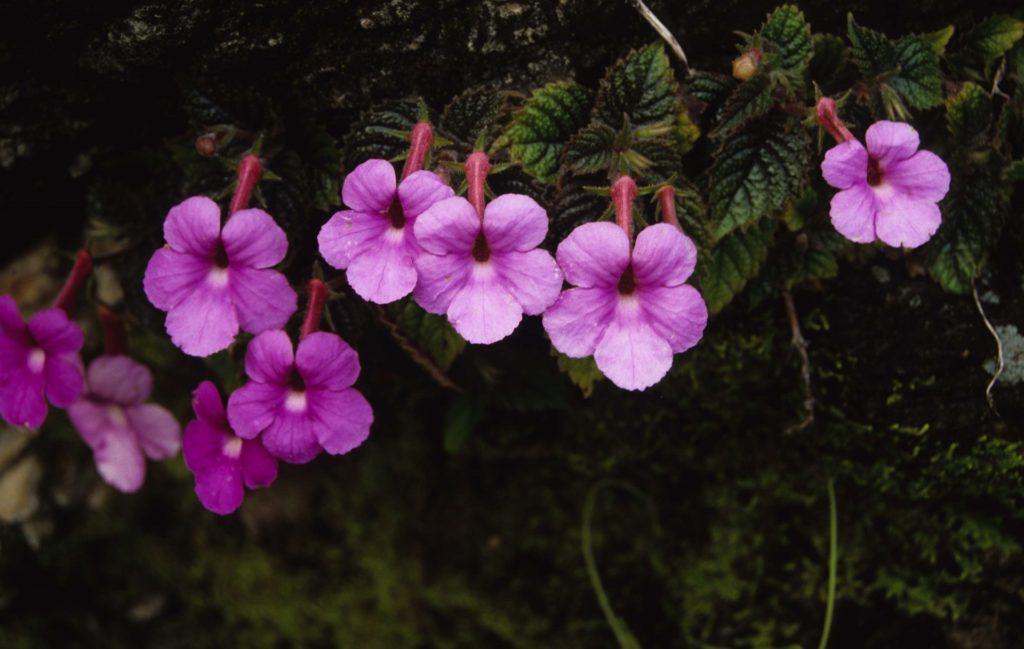 Achimenes grandiflora отличается очень крупными цветками удивительной красоты.