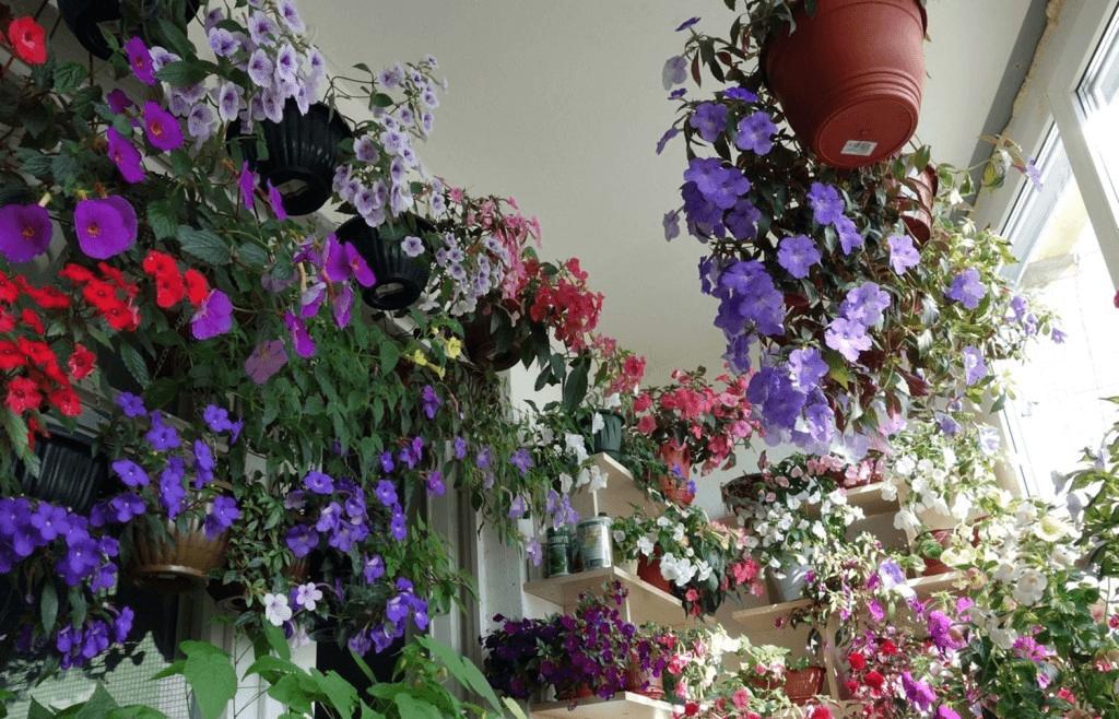Коллекция ахименесов — настоящий праздник для глаз цветовода