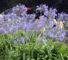 Агапантусы различаются расцветками и габаритами, и для выращивания в кадке подходит agapanthus africanus, который радует заводчика высокими, до 70 см, стрелками цветоносов, увенчанных шарами из цветков до 5 см в длину.