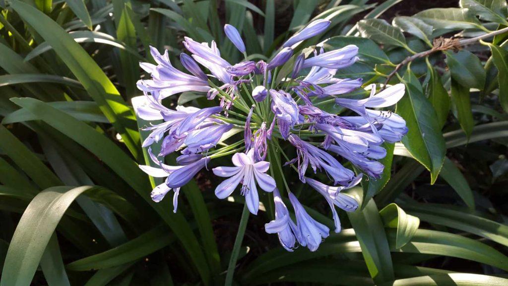 Любителям более крупных форм обязательно понравится agapanthus orientalis – это растение может подарить метровые цветоносы и цветет продолжительно, нежно-голубыми цветками.