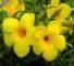 На фото Allamanda cathartica. Эта быстрорастущая лиана имеет толстокожие мясистые листья и яркие, желто-оранжевые цветки, достигающие 12 см.