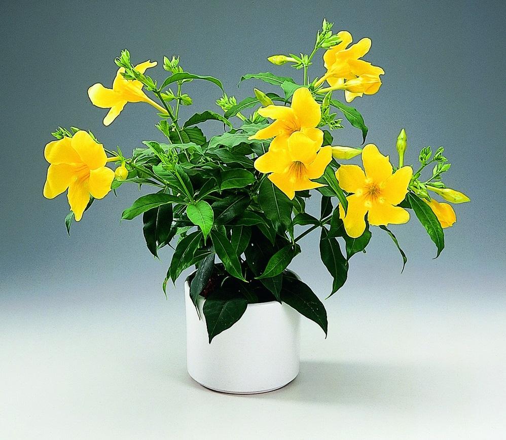 Allamanda Neriifolia, фото floradania.dk