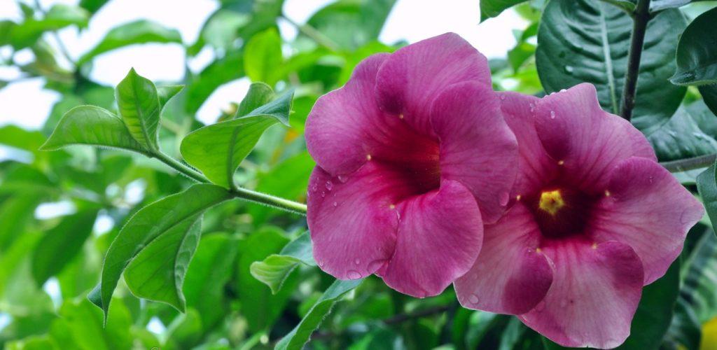 Allamanda violacea – вечнозеленая лиана, растет медленно, цветет на концах побега крупными нежнофиолетовыми цветками.