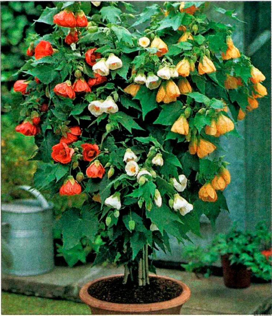 Абутилон гибридный придется по душе любителям карликовых деревьев – высокий, до 1,5 метров, стволик и густая крона из множества веток выглядят очень стильно.