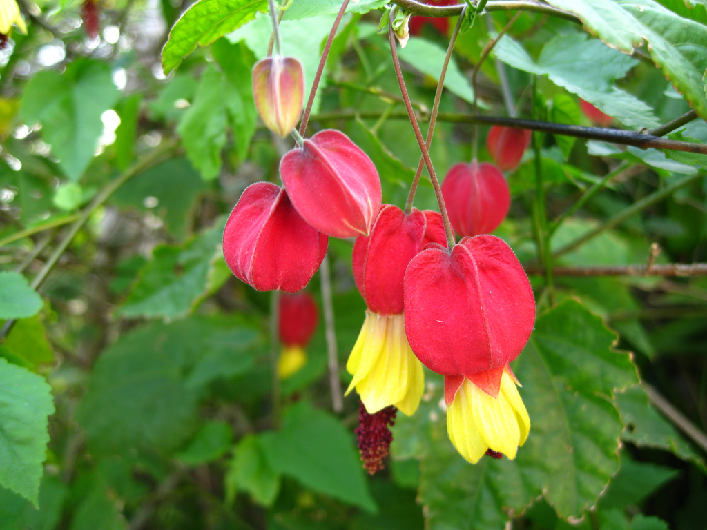 Абутилон мегапотамский (Abutilon megapotamicum) - ампельное растение, пригодное для размещения в подвесной корзинке. При подвязывании к опоре может расти вверх, достигая в высоту 1,3 м.