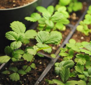 Питомники летом распродают огромное количество растений, и, чтобы не получить больной или ослабленный куст, важно знать, как выбирать клубнику на рассаду.