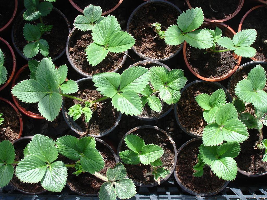 Как правило, такая рассада дороже, и может остаться до осенней распродажи, когда появляется шанс получить элитное растение и сэкономить.