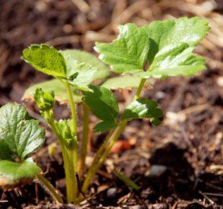 Осень считается рискованным сезоном для приобретения клубники, однако, если точно ясно, какую клубнику брать на рассаду и есть понимание, что первые ягоды появятся только через два года – стоит брать.