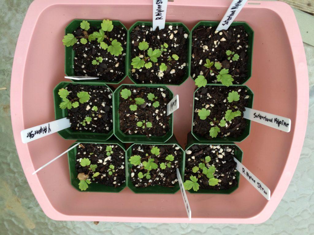 Придирчивым садоводам не остается иного выбора, кроме как выбрать рассаду клубники в питомнике, ориентируясь на отзывы по конкретным сортам.