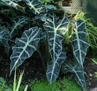 Alocasia, источник - finegardening.com