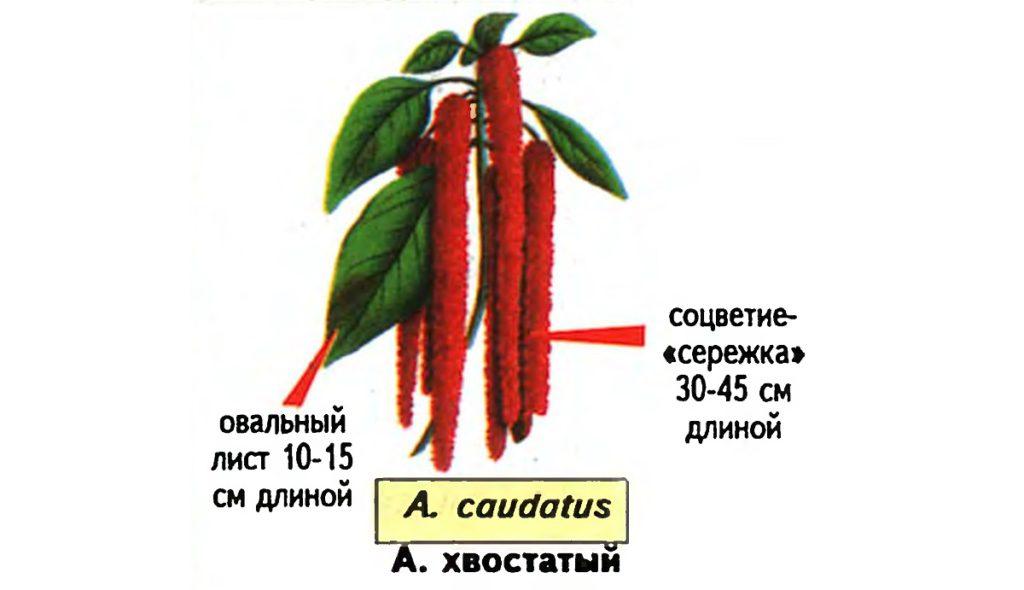Амарантус (Amaranthus), Щирица. Источник — «Все о комнатных растениях», автор д-р Д. Г. Хессайон