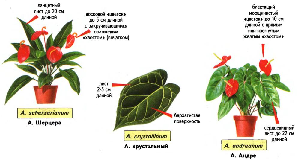 Антуриум (Anthurium) - виды и различия. Источник — «Все о комнатных растениях», автор д-р Д. Г. Хессайон