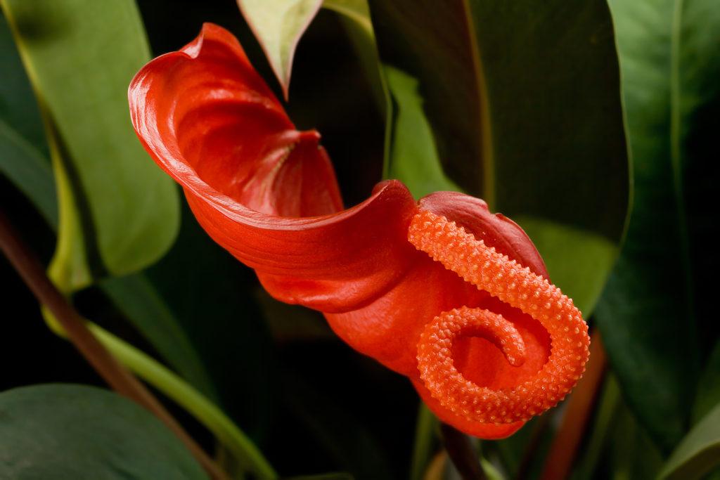 Антуриум Шерцера (Anthurium Scherzerianum)
