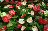 Антуриум (Anthurium)