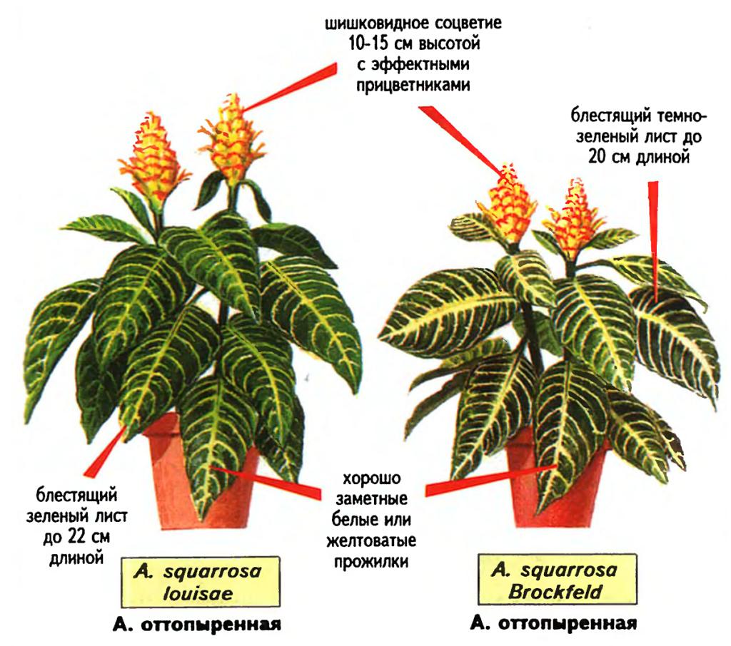 Aphelandra squarrosa (Афеландра оттопыренная). Источник — «Все о комнатных растениях», автор д-р Д. Г. Хессайон
