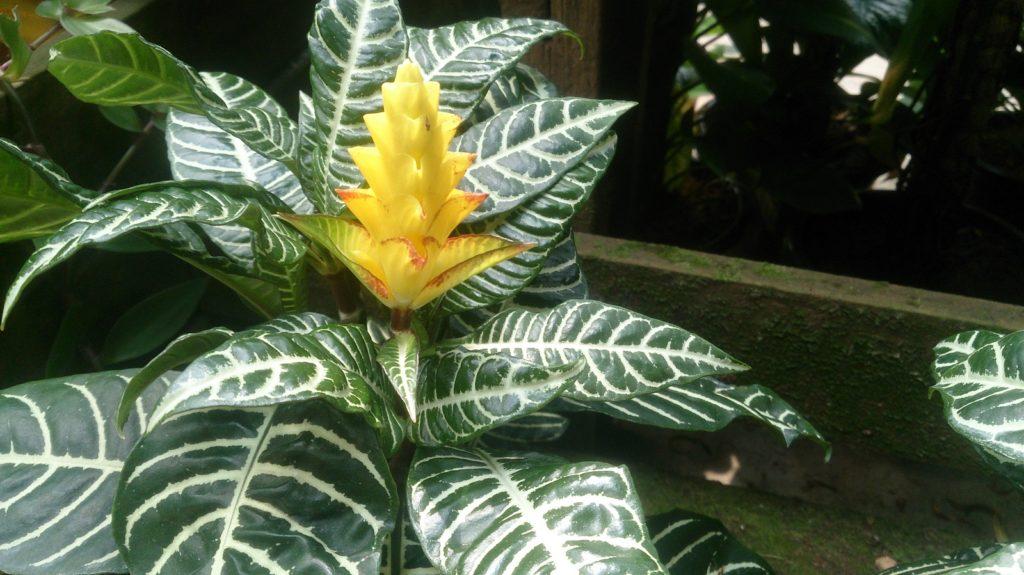 Aphelandra squarrosa (Афеландра оттопыренная)