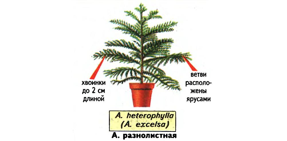 Араукария разнолистная (Araucaria Heterophylla). Источник — «Все о комнатных растениях», автор д-р Д. Г. Хессайон