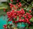 Ардизия городчатая (Ardisia crenata)