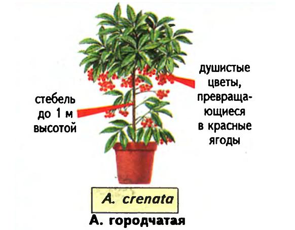 Ардизия городчатая (Ardisia crenata). Источник — «Все о комнатных растениях», автор д-р Д. Г. Хессайон