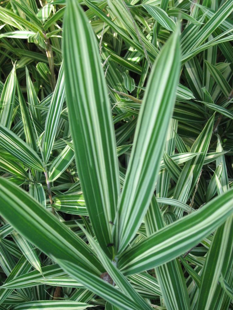 Arundinaria fortunei (Syn. Arundinaria variegata)