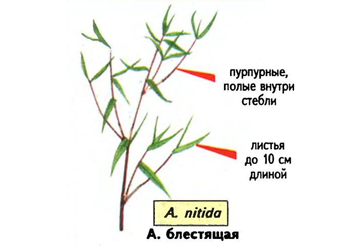 Arundinaria nitida. Источник — «Все о комнатных растениях», автор д-р Д. Г. Хессайон