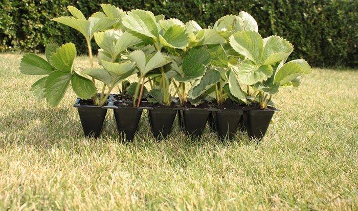 Как посадить и вырастить рассаду клубники