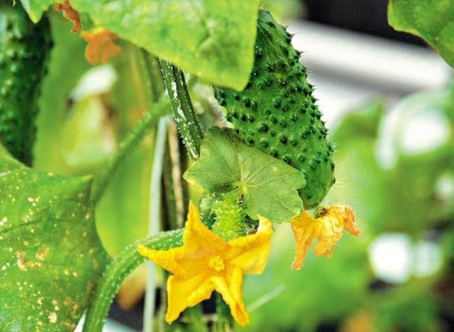 Что сделать, чтобы листья огурцов не желтели