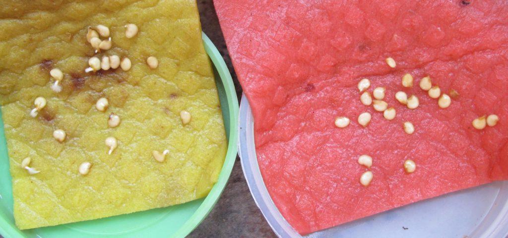 Прежде чем высевать семена, их рекомендуется в один слой положить на поверхность увлажненной ваты, бумажной салфетки, ткани либо мочалки. Для лучшего сохранения влажности их надо сверху так же накрыть.