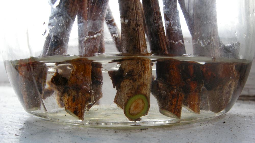 В том случае, когда виноградные чубуки сохранились хорошо, их можно достаточно быстро и легко подготовить к высадке в открытую почву.