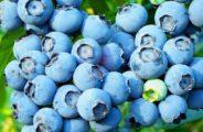 Голубика высокорослая «Голдтраубе» (Vaccinium corymbosum Goldtraube): описание, урожайность, фото и отзывы