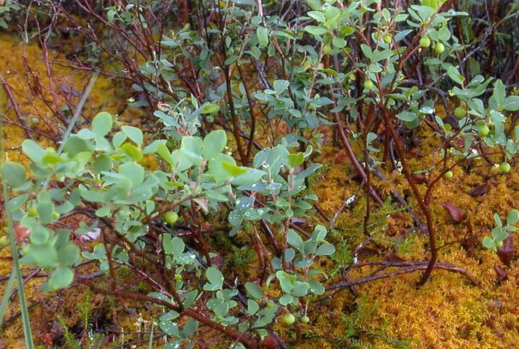 Голубика автохтонная Vaccinium uliginosum – голубика болотная, обыкновенная, которая вполне может выращиваться в саду в регионах, где для садовой слишком короткое лето.