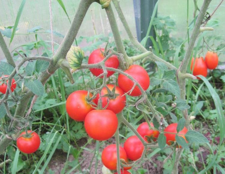 Томат Черри Блосэм: описание, урожайность, фото и отзывы