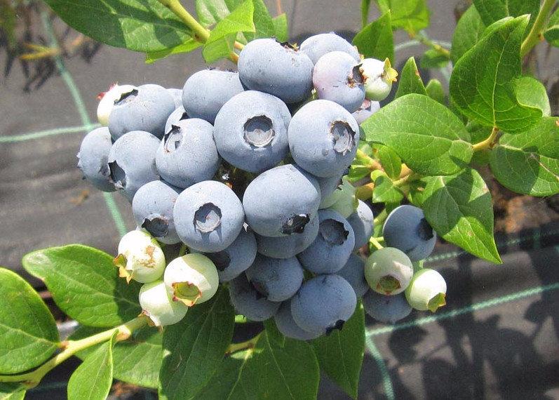 Голубика высокорослая «Дюк»: описание, урожайность, фото и отзывы
