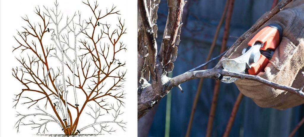 Чтобы растение хорошо себя чувствовало, давало стабильный урожай и было устойчиво к болезням, важно своевременно удалять больные и загущающие ветви.