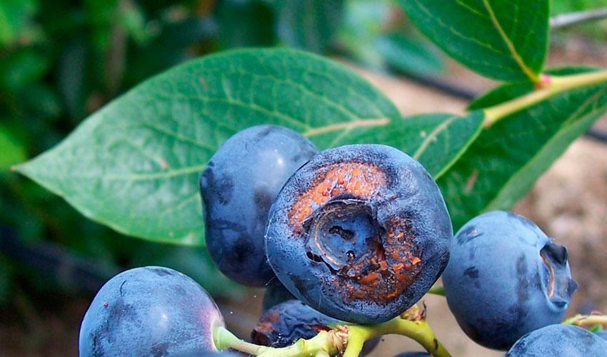 Наиболее часто встречаются белая пятнистость и серая гниль, могут засыхать ветви, иногда развивается рак стеблей. Плоды тоже страдают от монолиоза и физалспороза, вызванных грибками. Иногда может наблюдаться двойная пятнистость.