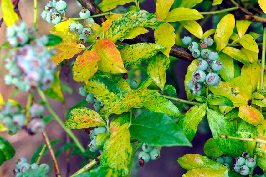 Неинфекционные болезни голубики часто связаны с нарушением агротехники и пренебрежением требованиями растения к почве, поливу, свету или ветру. Наиболее частая проблема – побледнение и пожелтение листьев, вызвана недостаточной кислотностью почвы.