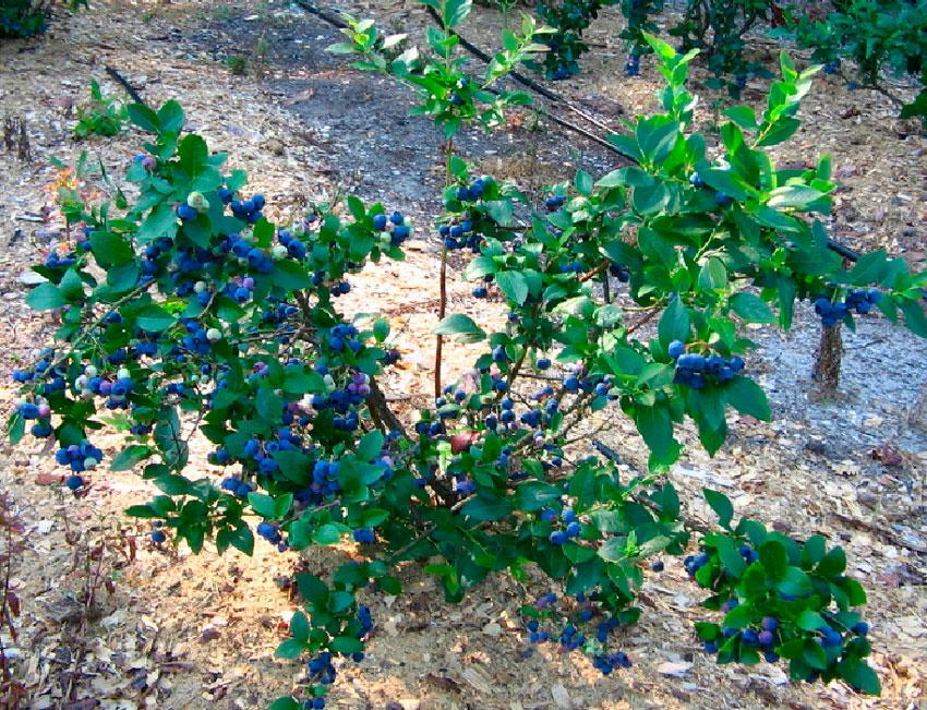 Голубика отличается весьма примечательной внешностью: высота дикого куста может достигать полутора метров, а сортовые растения иногда достигают 2,5 метров.