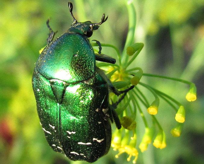 От майского жука придется избавляться вручную, а личинки придутся по вкусу кротам или домашней птице, например, цесаркам.