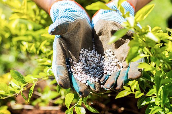 Минеральные удобрения голубике жизненно необходимы, однако вносить их нужно аккуратно и неспешно. Во-первых, до двухлетнего возраста удобрения вносить нежелательно. Во-вторых, первые разы лучше вносить необходимый объем удобрения поэтапно, чтобы растение привыкло. Удобряют голубику, как правило, весной.