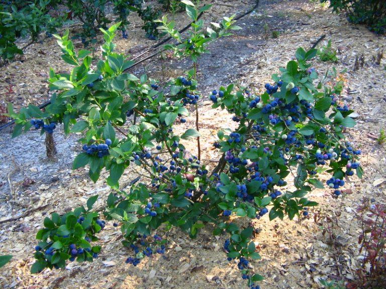Голубика Высокорослая «Бонус»: описание, урожайность, фото и отзывы