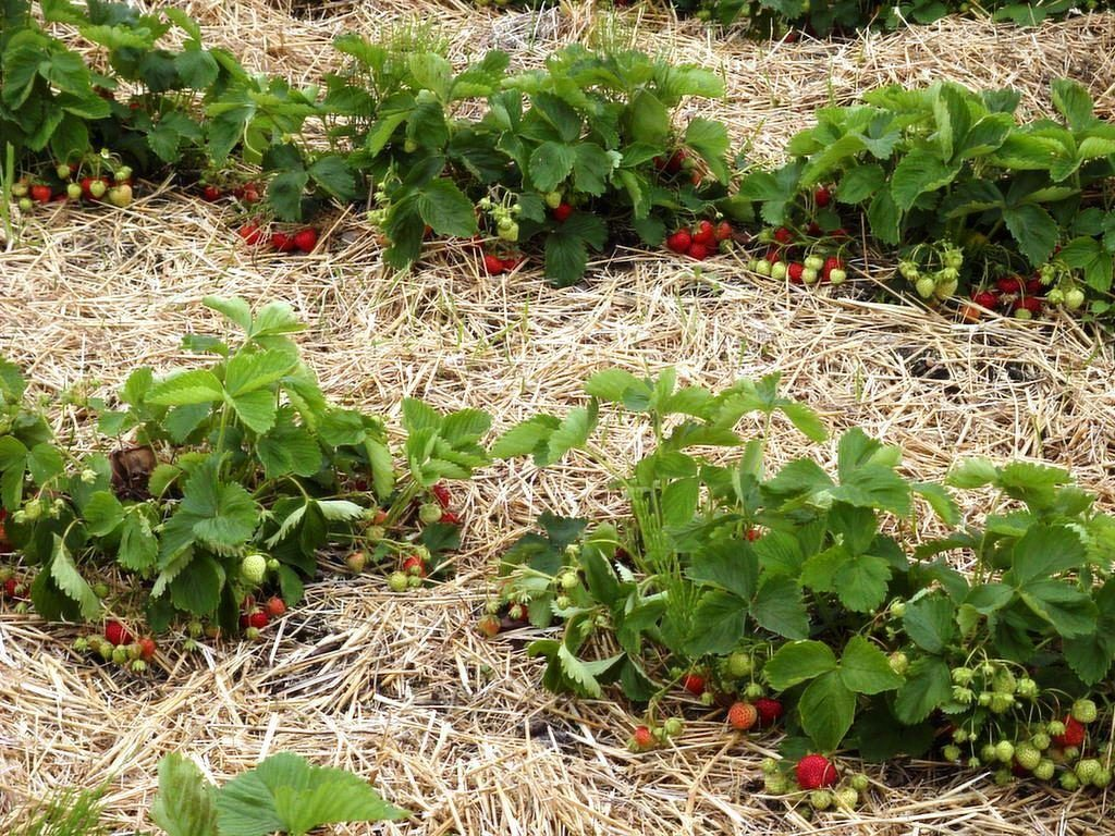 Питательной средой для выращивания клубники может стать гороховая солома – как раз в июле-августе появляется возможность создать соломенный матрас для рассады.