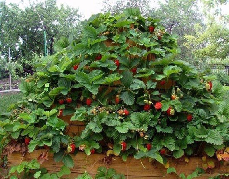 На крошечных участках, где сложно выбрать достаточно солнечное пространство, клубнику и землянику можно посадить в «пирамиды» - многоярусные грядки.