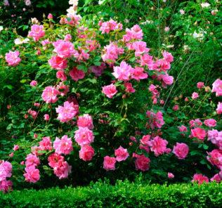 В умеренных и теплых областях Северного полушария можно повстречать розы в диких условиях, они не уступают в красоте и превосходном аромате садовым формам.