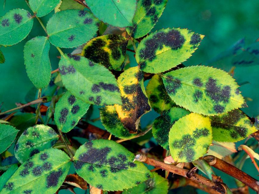 При выращивании таких растений в неподходящих для них условиях может привести к тому, что они станут очень слабыми и утратят устойчивость к болезням, а также на них могут поселиться различные вредные насекомые.